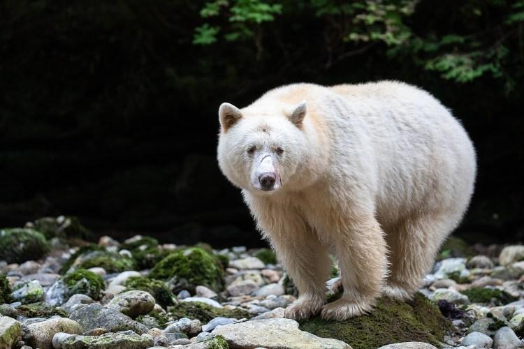 2019 spirit bear highlights