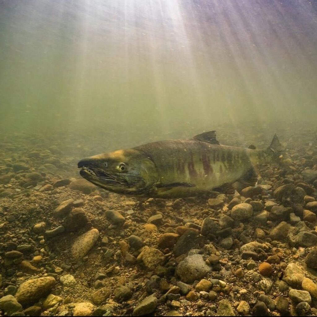 crucial time for wild salmon