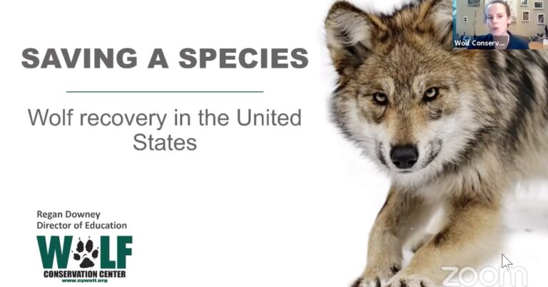 Wolf Conservation Center Wolf School episode 02 – Conservation of endangered Mexican grey and red wolves in the United States