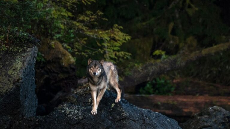 Wolf School 5: Indigenous perspective on wolves and wolf conservation
