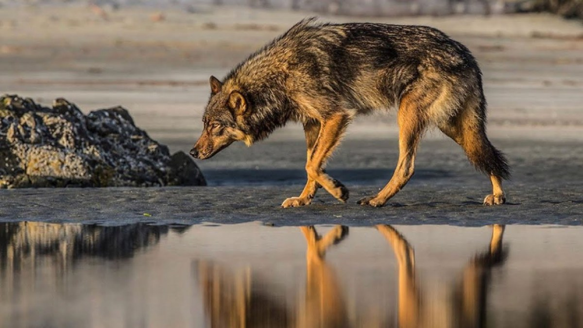 wolf school 6 conservation solutions