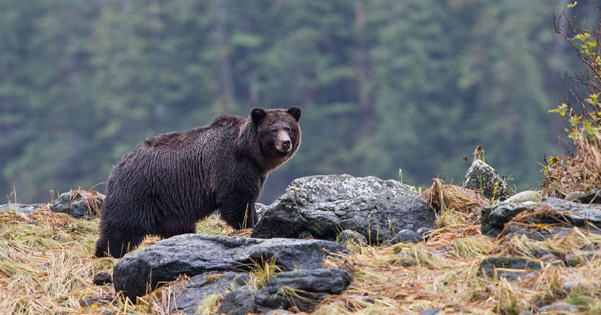 year two of grizzly bear behaviour monitoring in the atnarko corridor nuxalk territory