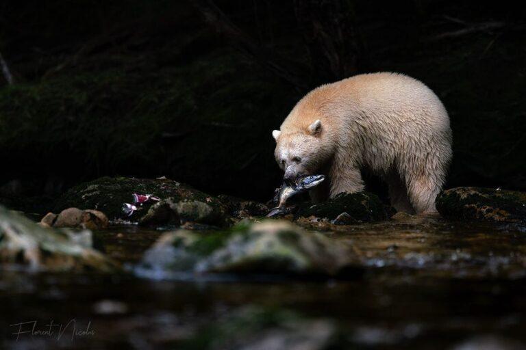 Spirit bear tenure