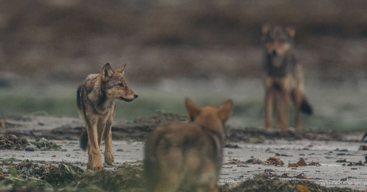 the perfect holiday gift that supports efforts to protect bcs wolves