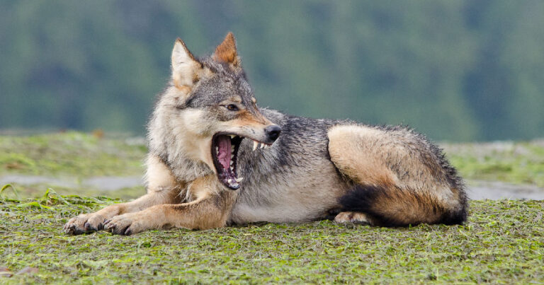 What would it be like to study wolves?