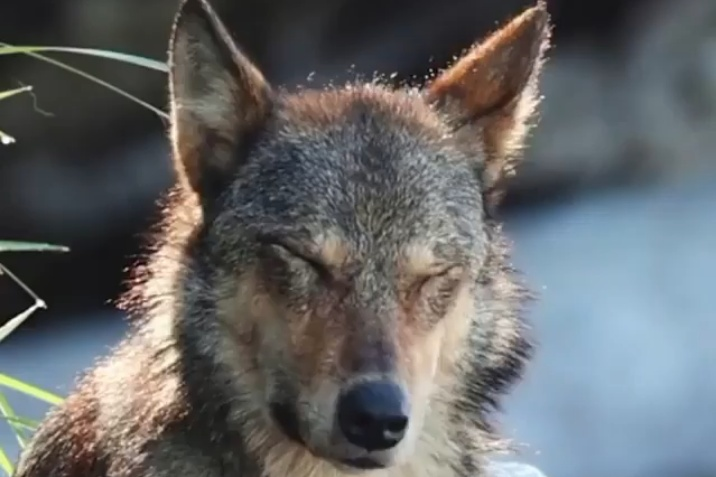 Protect wolves on BC coast