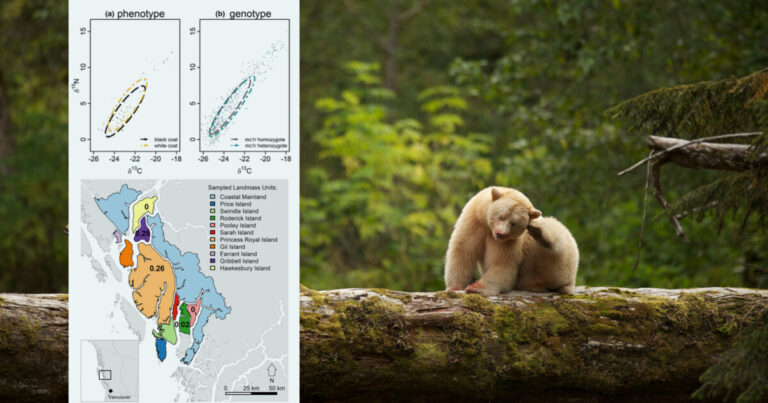 Research: Dietary differences among individuals with different genes and coat colours gives insight into the maintenance of the Spirit bears among black bear populations