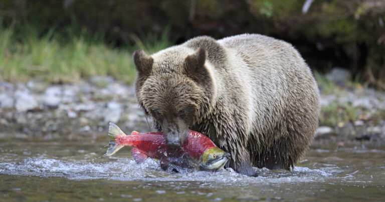 Looking ahead for each other – new study shows how the Wuikinuxv Nation shares sockeye with neighbouring grizzly bears