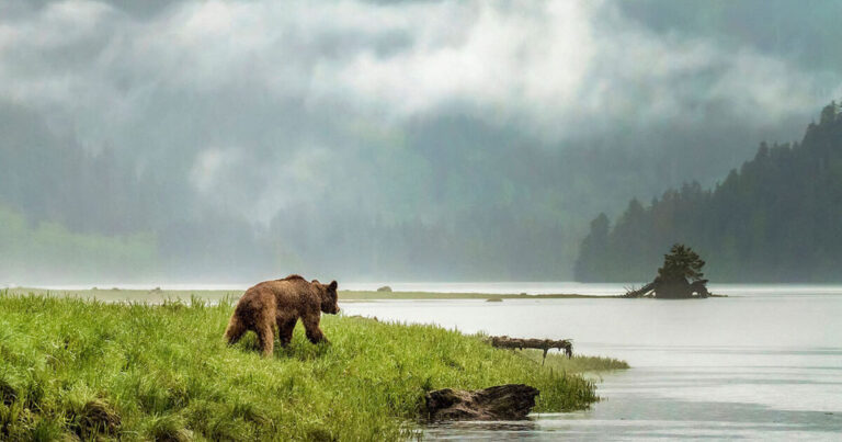 New research reveals spatial alignment between grizzly bear genetic groups and Indigenous language families in coastal British Columbia