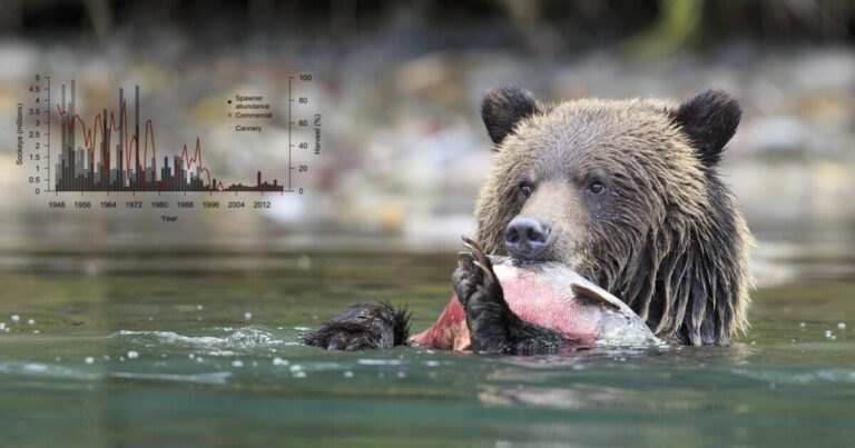 Research: Fisheries management of the Wuikinuxv bear-salmon-human system guided by n̓àn̓akila and data