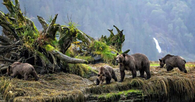 DNA analysis of grizzly bears aligns with Indigenous languages