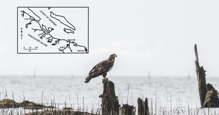 New research shows the influence of salmon abundance on the movement of bald eagles
